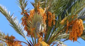 datleju palma