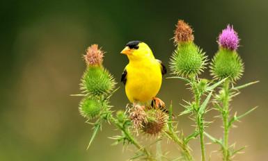 putns-dadzis-goldfinch-44827634