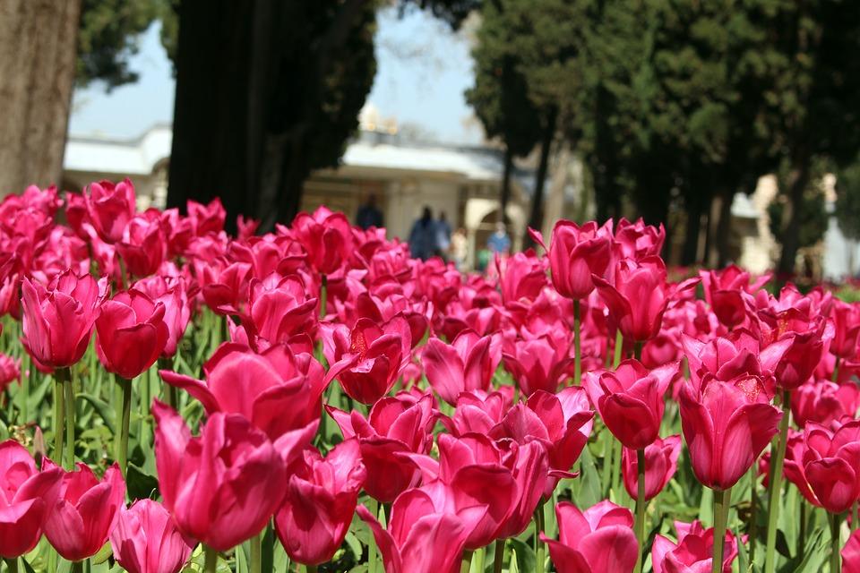 tulip-1595260_960_720